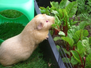 Fred sometimes found it hard to resist the vegetables next to the run!